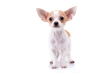 Studio shot of an adorable Chihuahua puppy