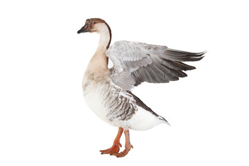 goose with spread wings isolated