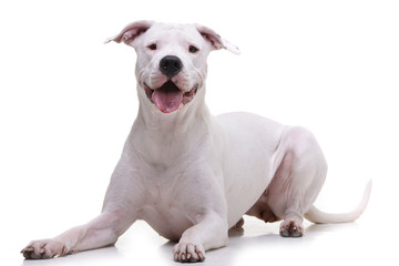 Studio shot of an adorable Dogo Argentino