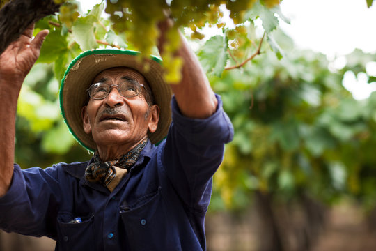 Worker picking grapes at a vineyard.
