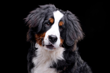Portrait of an adorable Bernese Mountain Dog Wall mural