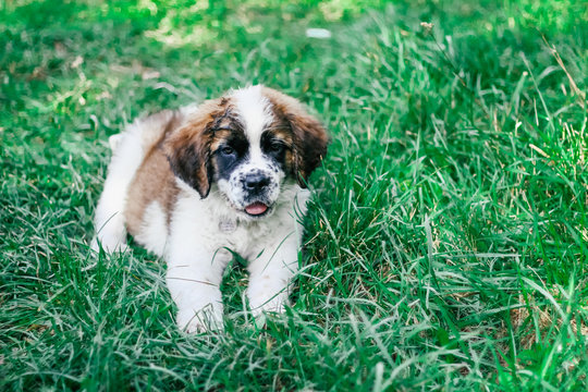 St. Bernard puppy in the park