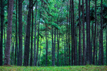 Pine trees garden green nature in tropical forest in Chiangmai, Thailand (Suan Son Bo Keaw)
