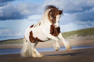 Tinker horse on the beach