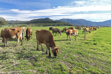 A herd of cows enjoy the green kukuju grass