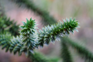 Close-up of the leaves of the Araucaria araucana (monkey puzzle tree)