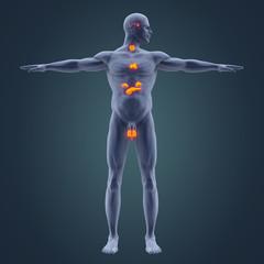 Human Endocrine System Illustration