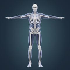 Human Skeletal System Illustration