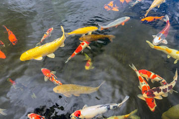 Colorful koi fish swimming in pond of a fishery