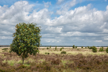Dutch National park with heath, one tree and cloudy sky