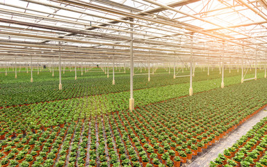 Industrial greenhouse with rows of cultivation
