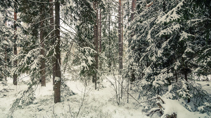 snowy winter coniferous forest