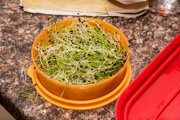 Luzerne salade