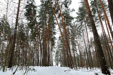 Pathway through green dark winter forest. Snowdrift and Tilted spruces.
