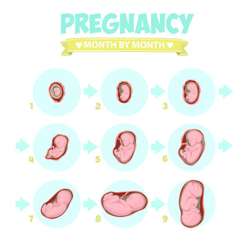 Human fetus inside the womb 1 to 9 months.Vector illustrations