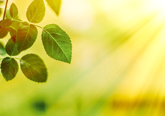 green leaves - nature backgrounds and springtime concept