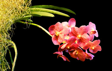 Vanda orchid with  red variegated flowers isolated on black background with clipping path