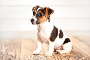Jack Russell terrier puppy sitting on boards floor, light background, studio shot.