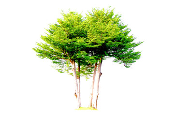 Isolated trees with clipping path on white background use for decoration architecture website , magazine and advertisement.