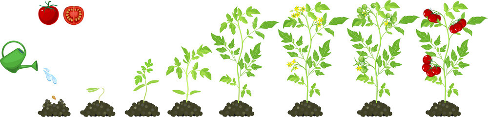 Life cycle of tomato plant. Stages of growth from seed and sprout to adult plant with red fruits