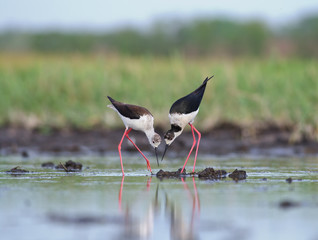 Black-winged Stilts are building the nest. Himantopus himantopus