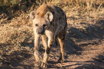Wall Murals Hyena Hyena in Serengeti Tanzania