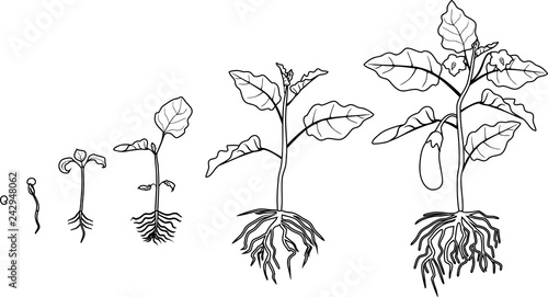 """Coloring page. Life cycle of eggplant with root system ..."