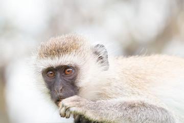 Monkey in Tarangire National Park Tanzania