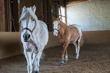 Zwei Pferde traben in einer Reithalle