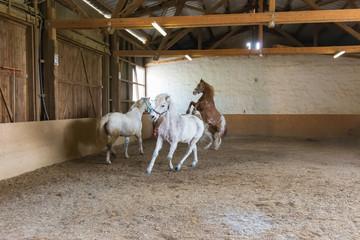 spielerischer Auslauf von Pferden in einer Reithalle