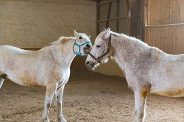 Kleine Kappelei zweier Pferde im Reitstall
