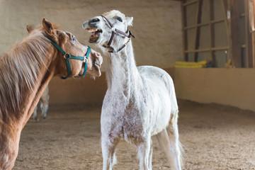 lachende Pferde in der Reithalle