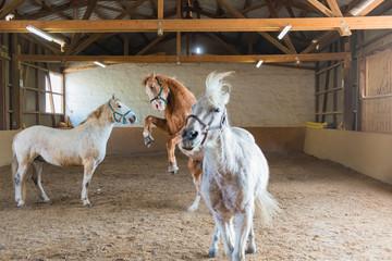 Wildes Toben von Pferden in einer Reithalle
