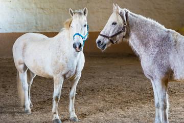 Pferde warten auf das Aufsatteln in einem Reitstall