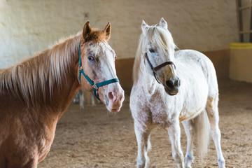 Zwei Pferde stehen in der Reithalle und warten auf Beschäftigung