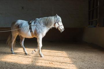 Pferd mit Zaumzeug läuft in einer Reithalle in Richtung Ausgang