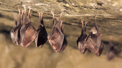 Close up group of small sleeping horseshoe bat covered by wings, hanging upside down on top of cold natural rock cave while hibernating. Wildlife photography. Creatively illuminated blurry background. Wall mural