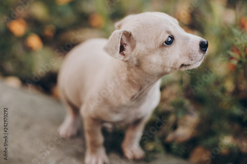 Cute little puppy walking in autumn park  Scared homeless