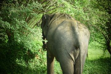SRI LANKA ELEPHANT YALA NATIONAL PARK