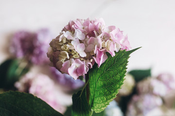 Deurstickers Hydrangea Hand holding pink hydrangea flower on background of colorful bouquet on rustic white wood. Happy mothers day. International Women's day. Pink hydrangea petals and green stem