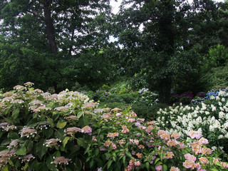 Hydrangea bushes in the arboretum.