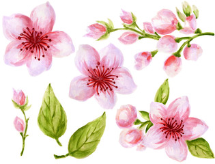 Watercolor botanical illustration of Chinese flower elements Pink flowers collection with leaves and blossom hand paint