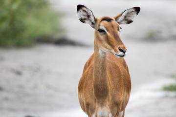 A impala female