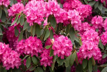 Rhododrendron plant bush