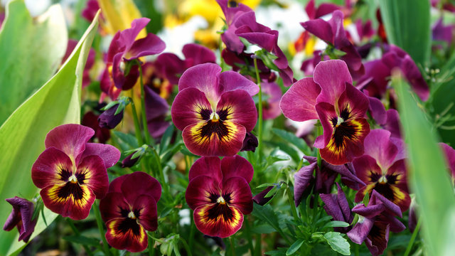 Viola wittrockiana, pansy flowers in spring garden
