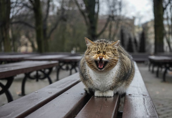 meowing cat in the park