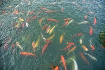 koi fish in river