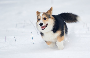 puppy welsh corgi running in snow