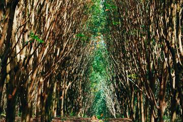 Rubber tree forest so beautiful landscape,Rubber tree plantation