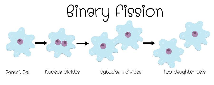 binary fission in amoeba